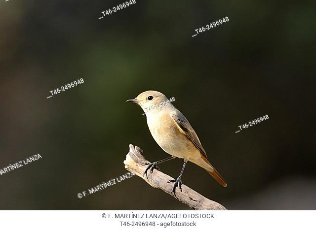 Redstart Phoenicurus phoenicurus. Photographed in Fresnedilla de la Oliva