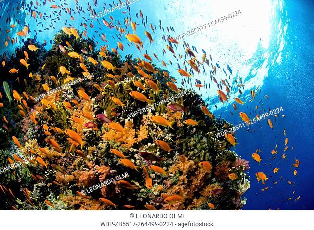 Egypt, Red Sea, Sharm el Sheikh, fire coral with school of scalefin anthias (Pseudanthias squamipinnis)