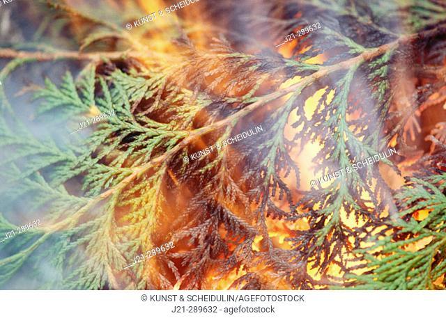 burning conifer