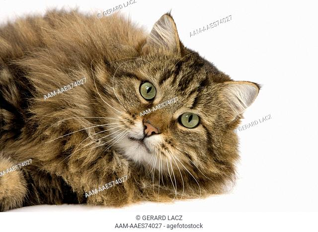 Angora Domestic Cat, Male laying against White Background