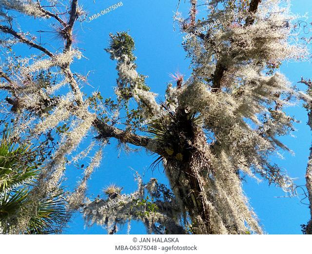 Florida Everglades, tropical tree
