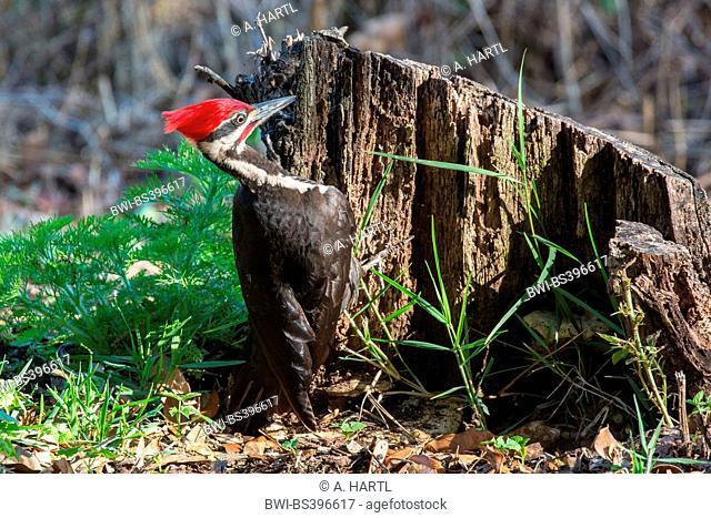 Pileated woodpecker (Dryocopus pileatus), male on the feed at deadwood, USA, Florida, Kissimmee