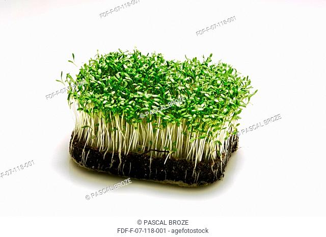 Watercress sprouts growing on a patch of soil