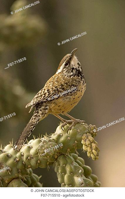 Cactus Wren (Campylorhnchus brunneicapillus)-Arizona- perched on cholla cactus (Opuntia spp.)- Sonoran Desert - Often nests in cactus to avoid predators-Builds...