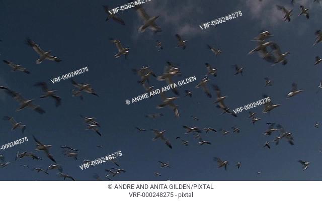 Gannets in flight against blue sky