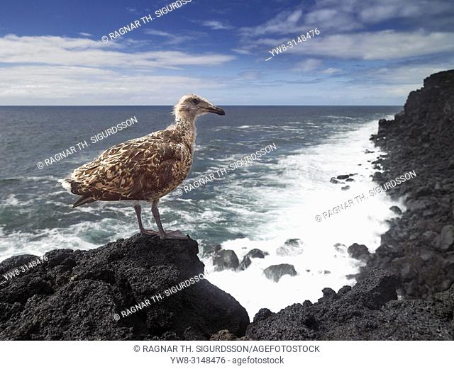 Young Seagull on lava rock, Surtsey Island, Westman Islands, Iceland
