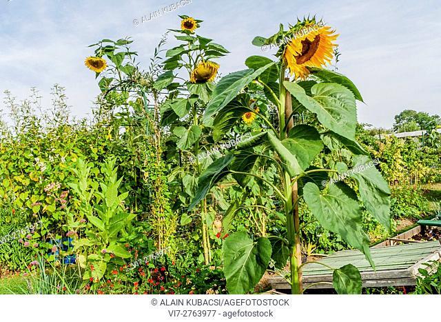 Sunflowerseed 'Mammoth'