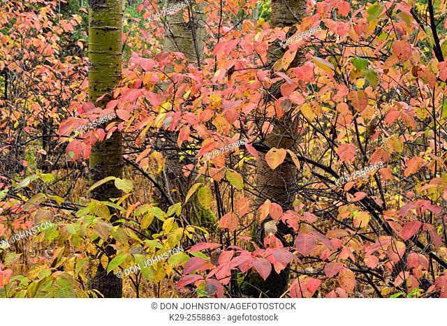 Northern wild raisin shrub (Viburnum cassinoides L.) in autumn colour with aspen tree trunks, Greater Sudbury, Ontario, Canada