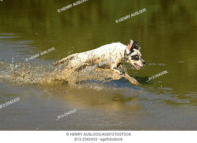 English Setter - running Canis familiaris