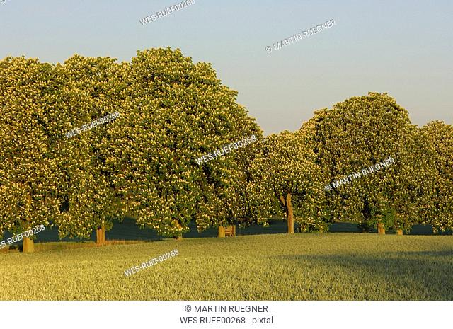 Germany, Mecklenburg-Western Pomerania, Horse chestnust trees Aesculus hippocastanum in meadow