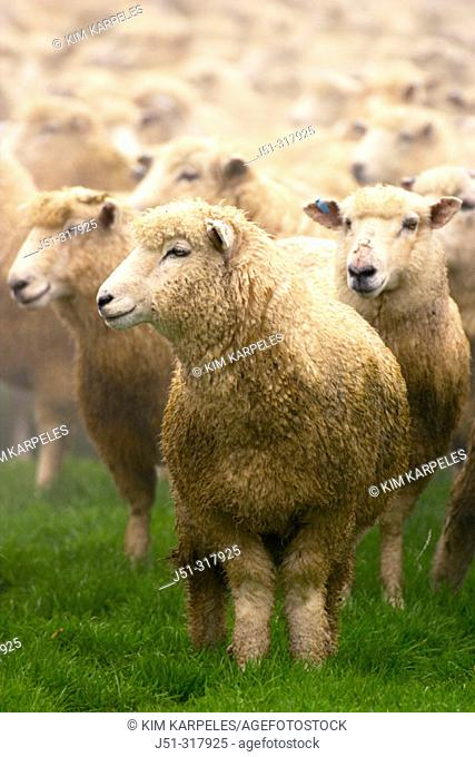 Flock of sheep in pasture, ewes. Athol, New Zealand