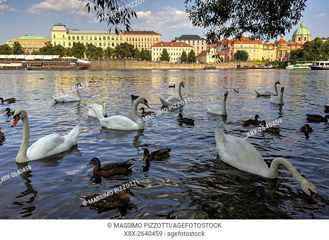 Swans in the Vltava river in Prague, CZ