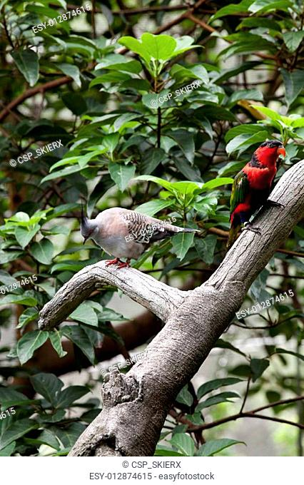 Alexandrine Parakeet and Pigeon