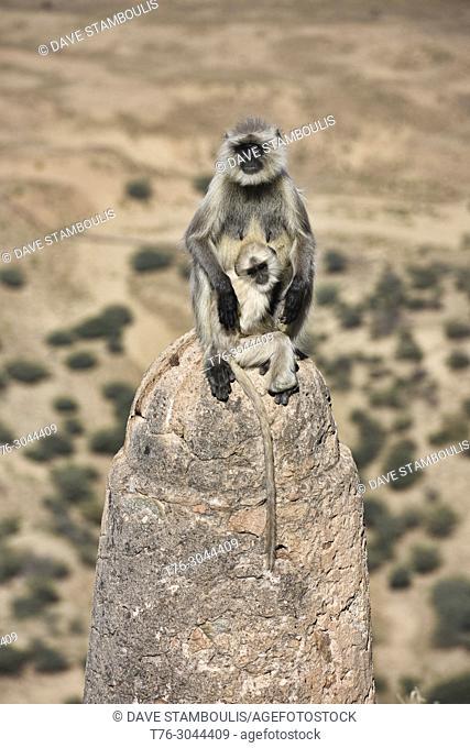 Gray langur monkeys at Savitri Mata Temple, Pushkar, Rajasthan, India