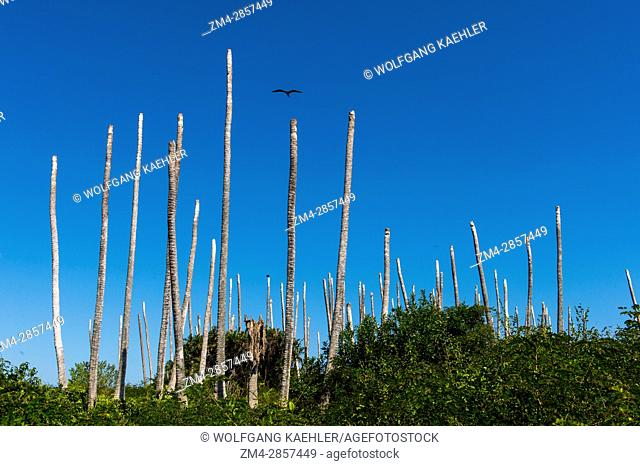 View of the remains of coconut palm trees after the top was being blown off during a storm on Iguana Island in Panama