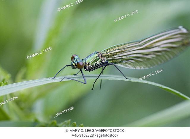 Female Banded Demoiselle, Calopteryx splendens