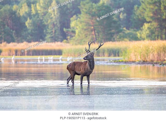 Solitary red deer (Cervus elaphus) stag standing in shallow water of lake / stream / river during the rut in autumn / fall