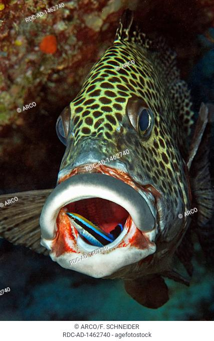 harlequin sweetlips and cleaner fish, cleaning station, Yap Caverns, Yap Island, FSM, Federal States of Micronesia, Pacific, Plectorhinchus chaetodonoides