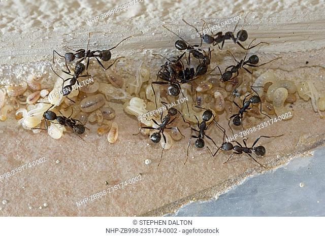 Ants moving larvae and pupae into the warmth of the sun Corfu