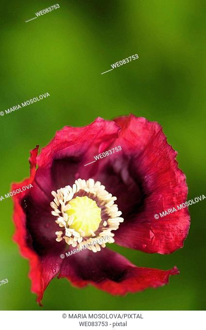 Dark Red Poppy. Papaver somniferum var paeoniflorum