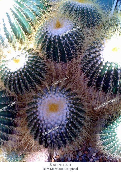 Hairy cactus plants outdoors