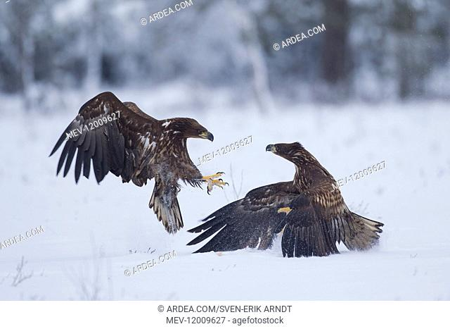 White-Tailed Eagle - eagles fighting - Sweden