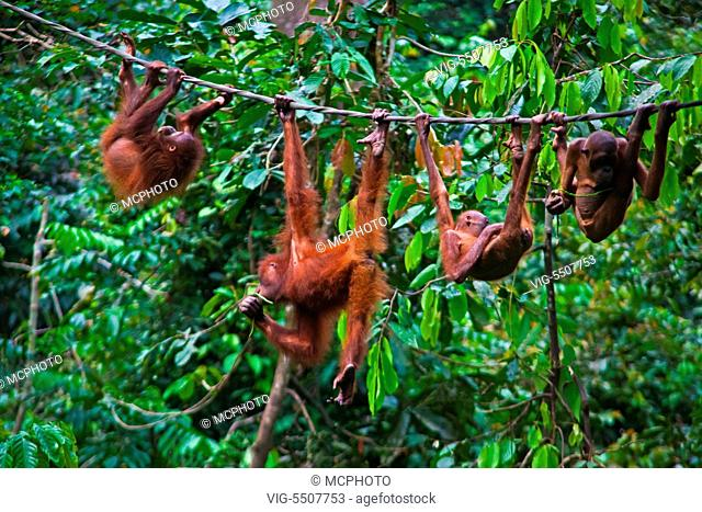 A group of orangutans (Pongo pygmaeus) at the Sepilok Orangutan Rehabilitation Center in the Kabili Sepilok Forest near Sandakan - MALAYSIA, BORNEO - USA