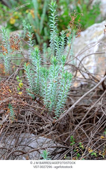 Euphorbia pithyusa is a shrub endemic to western Mediterranean region