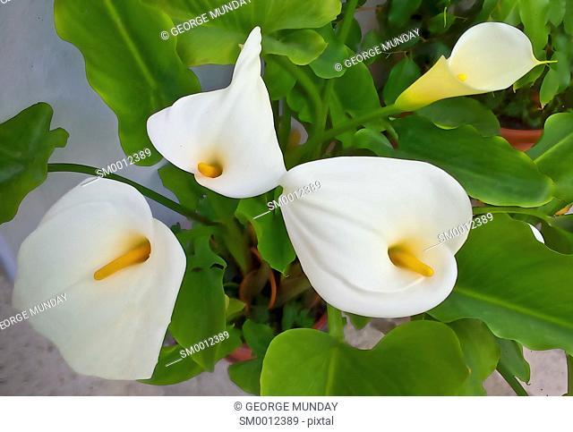 Arum Lilies in Frigilina,