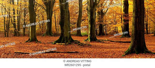 Huge beeches in a former pastoral forest at autumn, Sababurg or Reinhardswald Forest, Hesse, Germany