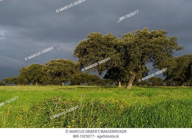 Holm oak or Holly oak (Quercus ilex), Quintana de la Serena, Badajoz, Extremadura, Spain, Europe