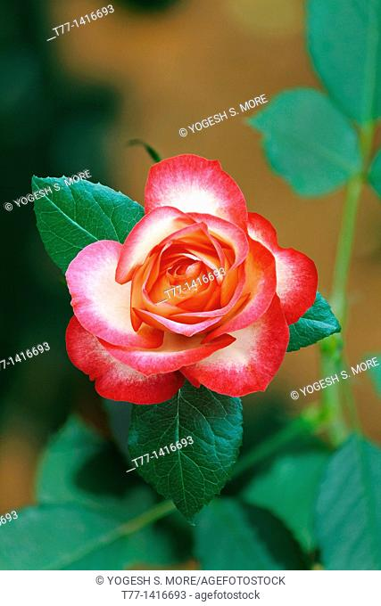 cherry parfait rose Flower
