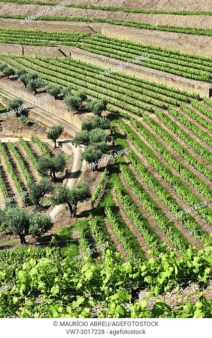 Vineyards at Quinta do Noval, Douro region. A Unesco World Heritage Site. Portugal