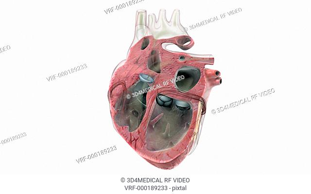 Animation depicting a sectioned beating heart. The camera pans from right to left showing the valves of the heart functioning