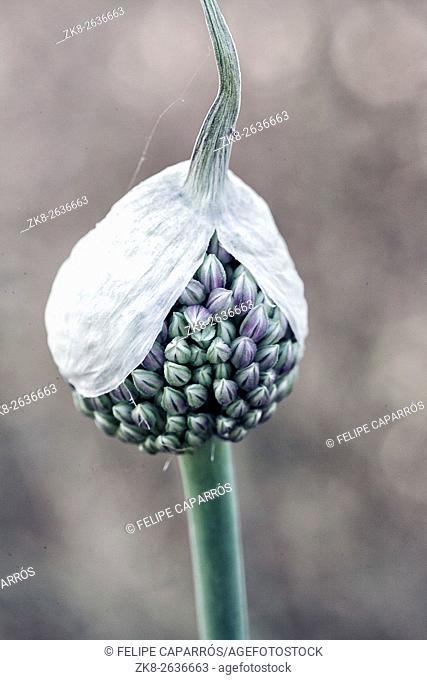 Allium sativum, the scientific name of the flower of the garlic