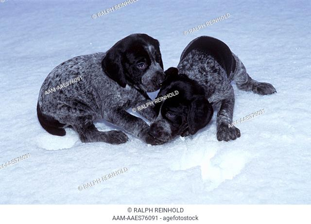 German Shorthaired Pointer, playful Puppies, Woodbridge, Ontario