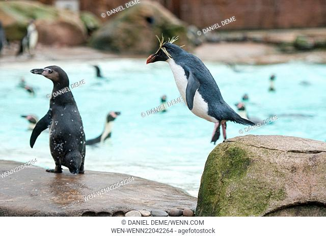 Animals are counted during the annual stocktake at the ZSL London Zoo. Featuring: Humboldt Penguins Where: London, United Kingdom When: 05 Jan 2015 Credit:...