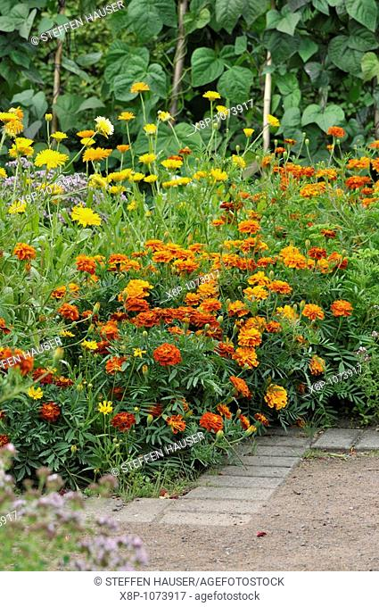 Marigolds Tagetes, pot marigolds Calendula officinalis and green beans Phaseolus vulgaris var  vulgaris