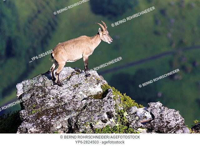 Alpine Ibex (Capra ibex), adult female standing on rock, Niederhorn, Bernese Oberland, Switzerland