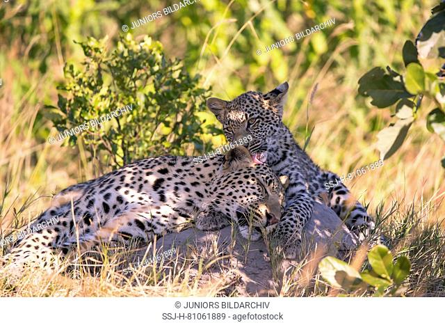 Leopard (Panthera pardus), female grooming her seven month old cub