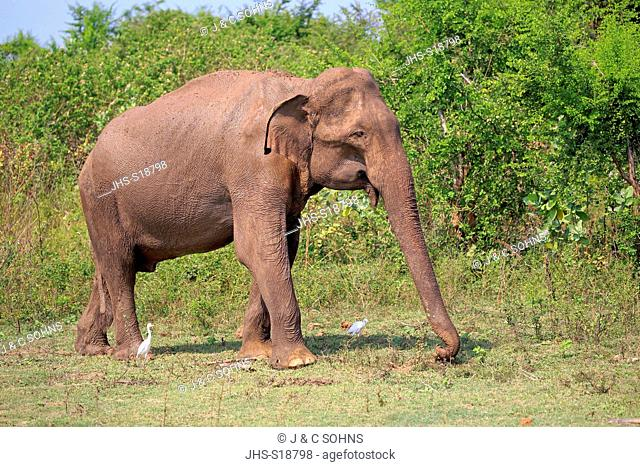 Sri Lankan Elephant, (Elephas maximus maximus), Asian Elephant, adult male searching for food, Udawalawe Nationalpark, Sri Lanka, Asia