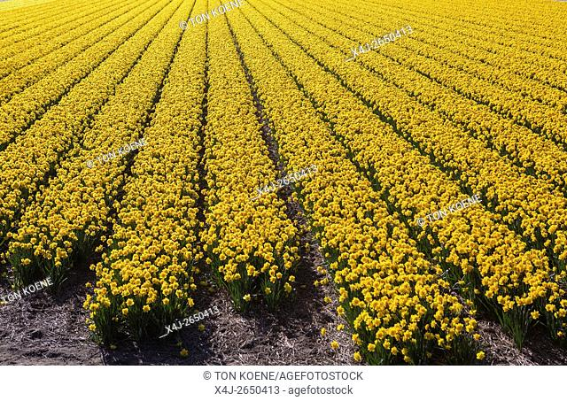 cultivation of daffodils in Holland