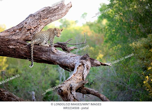 A leopard, Panthera pardus, sits on a dead tree trunk, alert, tail draping over trunk, greenery in background
