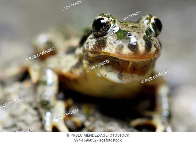"Parsley frog """"Pelodytes punctatus"""" or """"Pelodytes hespericus"""" near Rivas del Jarama, Madrid, Spain"