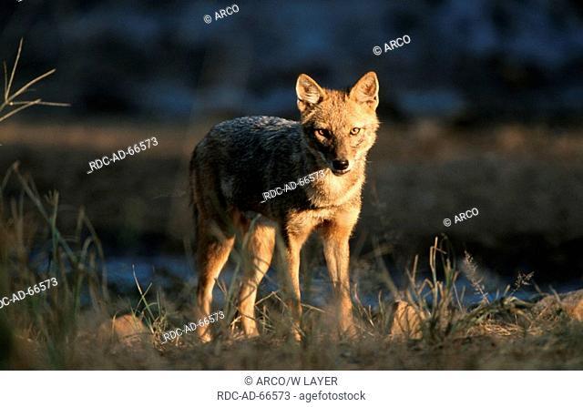 Golden Jackal Sariska Indien Canis aureus