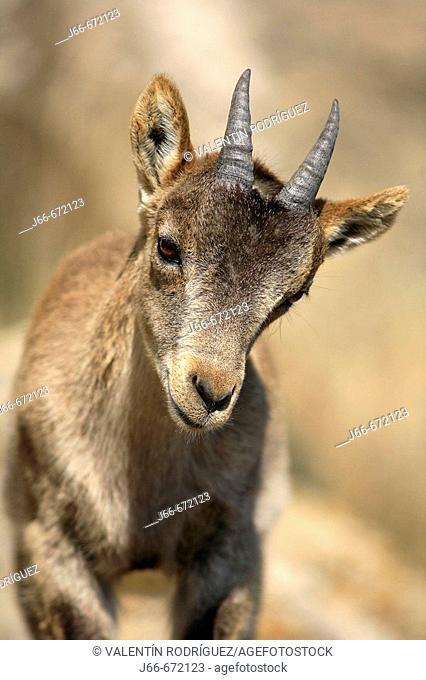 Spanish Ibex (Capra pyrenaica),  Ares del Maestrat. Spain