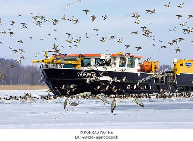 Icebraker entering frozen Wolgast harbour, birds, Usedom, Mecklenburg Vorpommern, Germany