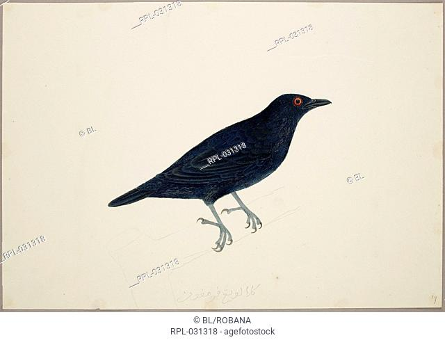 Adult Malay Glossy Starling or Tree Starling 'Aplonis Panayensis'. From an album of 51 drawings of birds and mammals made at Bencoolen, Sumatra