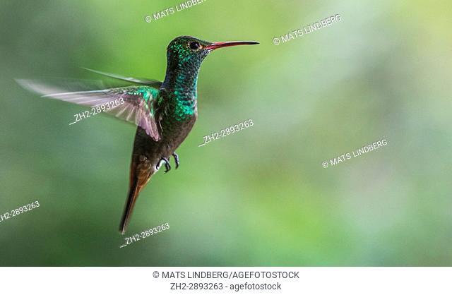 Amazilia tzacatl, Rufous-tailed hummingbird, hovering, Laguna del Lagarto, Boca Tapada, san Carlos, Costa Rica