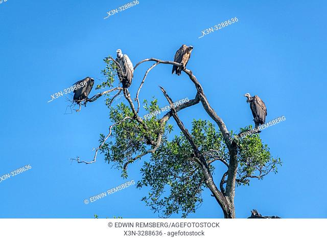 African white-backed vultures (Gyps africanus) perched atop a tree, Maasai Mara National Reserve, Kenya, Africa